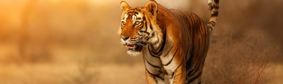 shutterstock_696476371  summer in India. Dry area with beautiful indian tiger, Panthera tigris.jpg