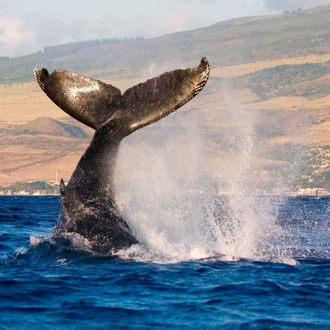 humpback whale tail slapping the tropical waters of hawaii_35381083.jpg