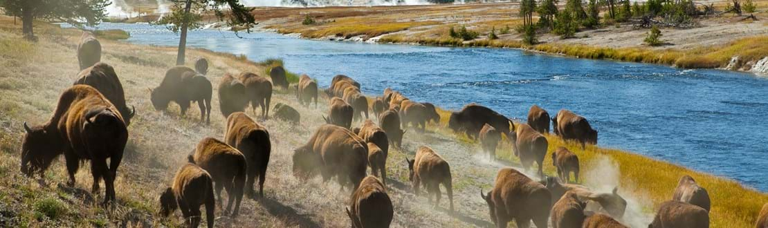 shutterstock_47311708 A herd of bison moves quickly along the Firehole River in Yellowstone National Park (near Midway Geyser Basin)..jpg