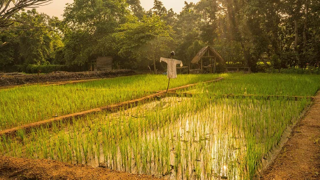 Anantara Tangalle Resort Gardens Sustainable Agriculture Rice Fields 1920X1037