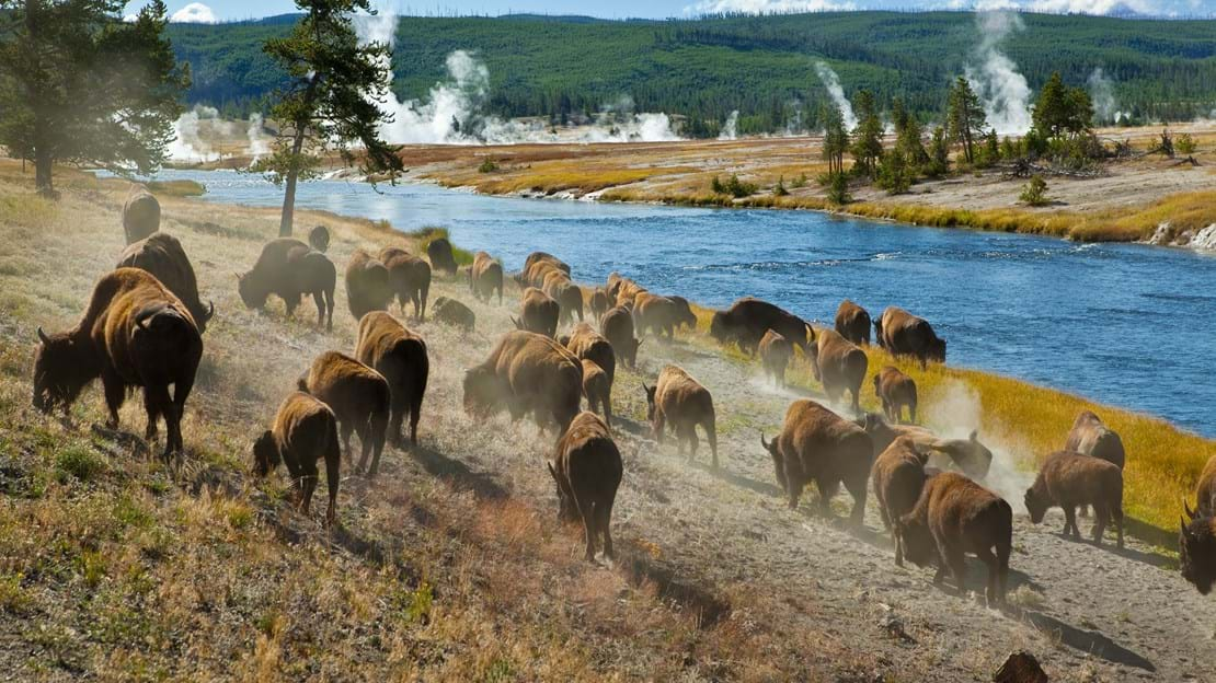 shutterstock_47311708 A herd of bison moves quickly along the Firehole River in Yellowstone National Park.jpg