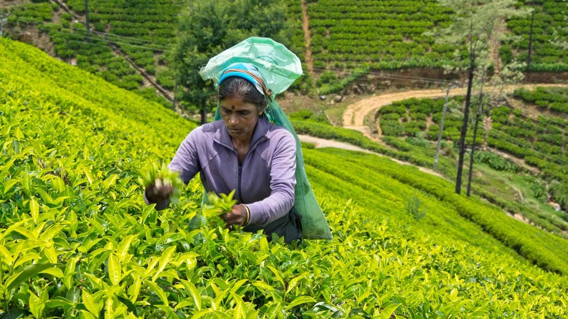 dag 7shutterstock_278419727 NUWARA ELIYA, A Tamil woman from Sri Lanka breaks tea leaves on tea plantation.jpg