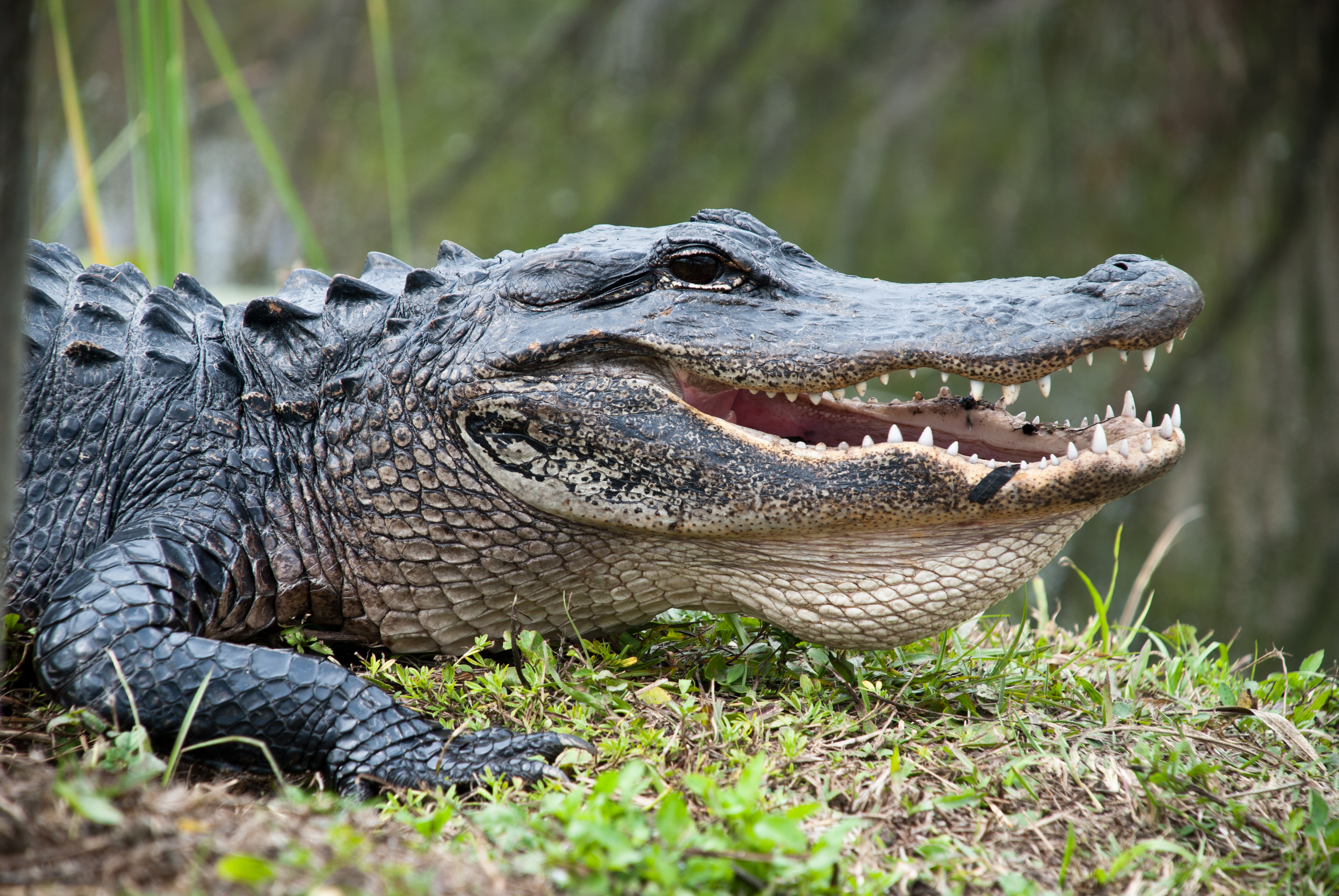 Alligator, Everglades